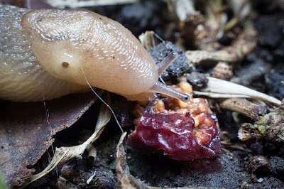 slug eating fallen dried fruit