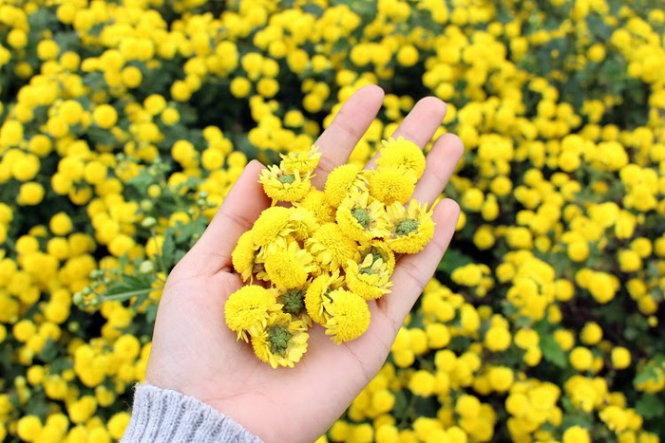 Kết quả hình ảnh cho Cúc hoa