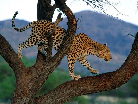 Leopar - L Hayvan İsimleri