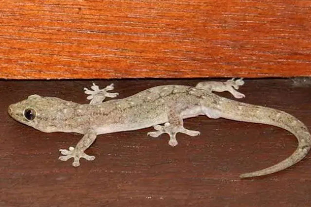 Lizard-