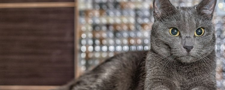 RUSSIAN BLUE CAT - Best Cat Breeds