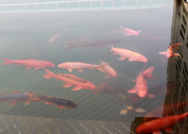 Golden Temple, Golden Fishes in holy lake