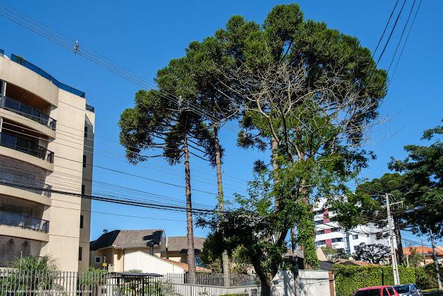 Mais pinheiros no Bacacheri
