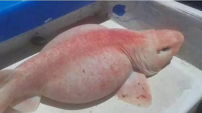 hiu albino