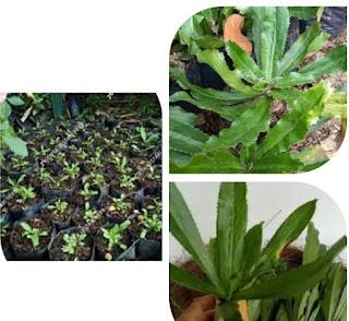 Mengenal tanaman walang sangit , si bau yang kaya manfaat