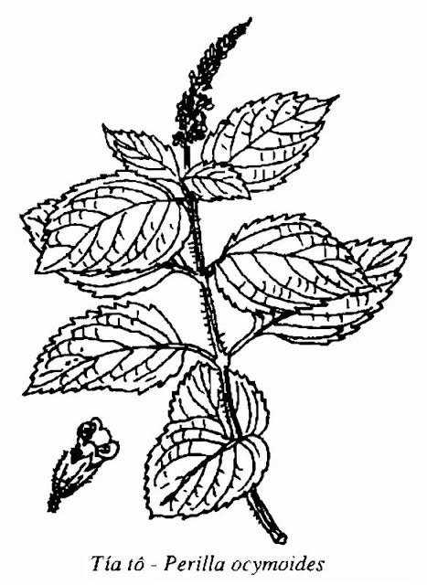 Hình vẽ Tía Tô - Perilla ocymoides - Nguyên liệu làm thuốc Chữa Cảm Sốt