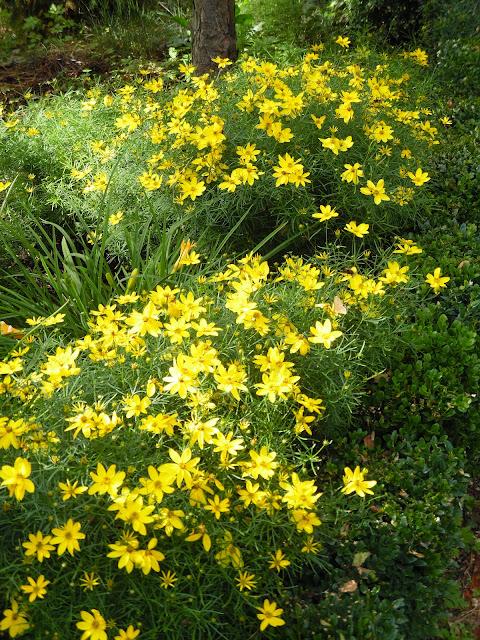 kwitnące nachyłki, żółte kwiaty