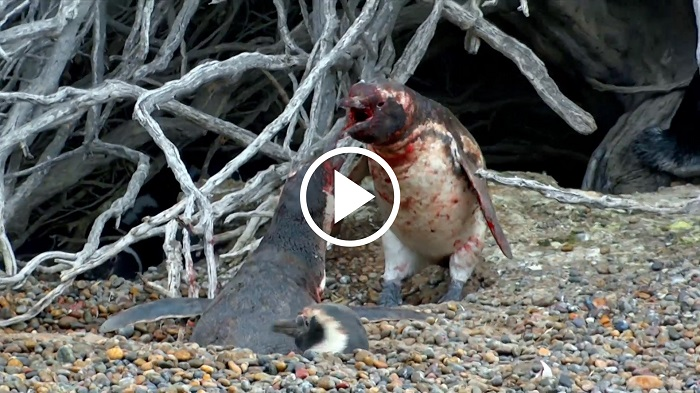 Shocking Video Of Male Penguin Catching His Unfaithful Wife