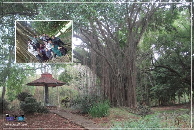 Pohon kenangan - kebun raya purwodadi