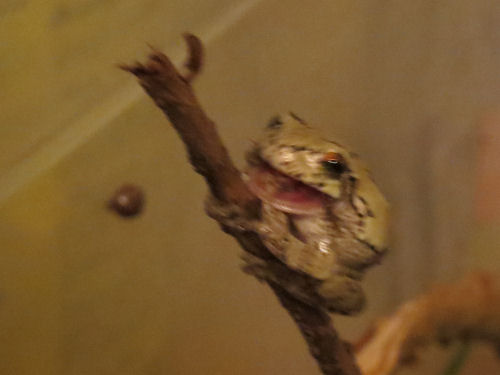 tree frog on small branch with open mouth