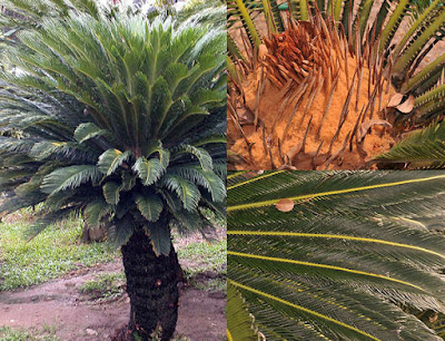 ต้นปรงญี่ปุ่น Sago ลักษณะ วิธีปลูก ดูแล Cycas revoluta