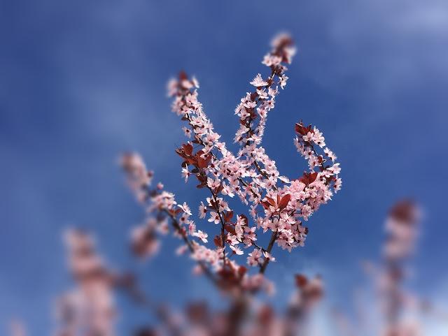 pinkige Blüten