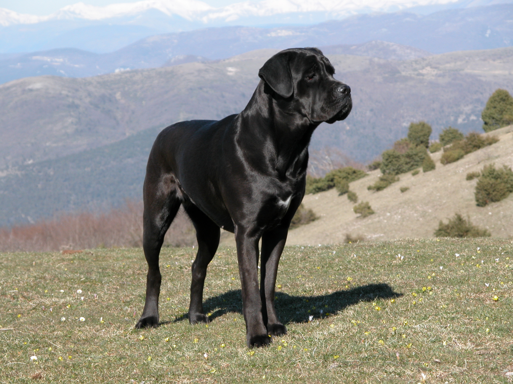 Cane Corso Puppies Review and Wallpapers