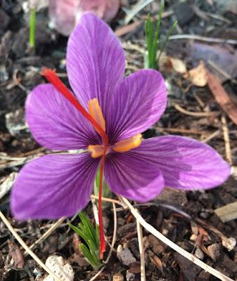 Crocus sativus or saffron crocus