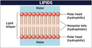 Jenis Lipid, Fungsi dan Mekanismenya
