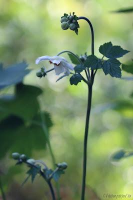 floraison blanche fin d'été anémone