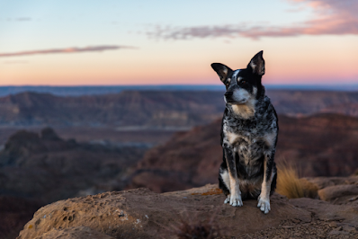 A Cattle Dog sits on a rock in the outback