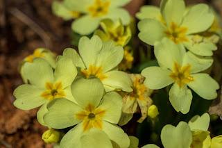 [Primulaceae] Primula vulgaris – Primrose