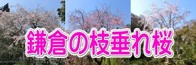 鎌倉の枝垂れ桜