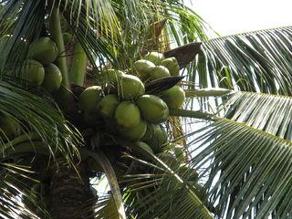 penderita diabetes boleh minum air kelapa muda