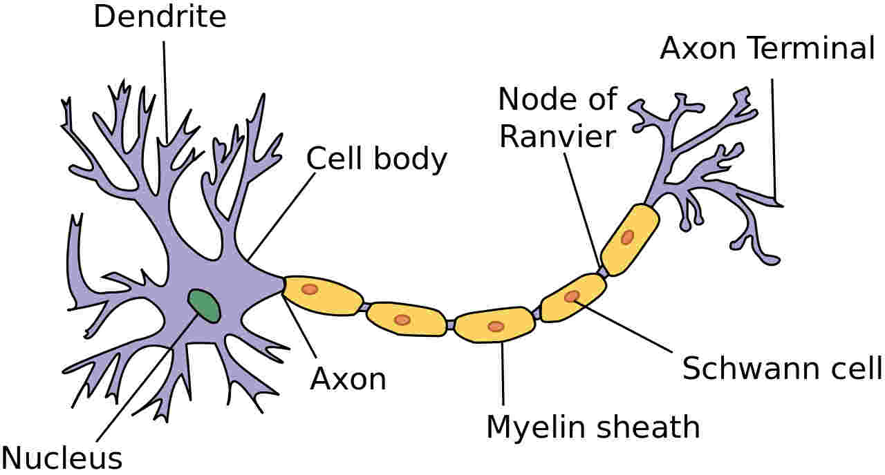 Overview About Physiology Of Nerves Bmedically