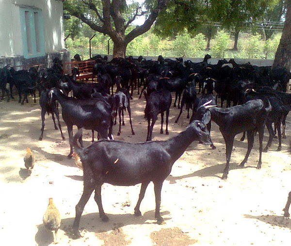 Goat Farming Business Plan For Beginners | Modern Farming Methods