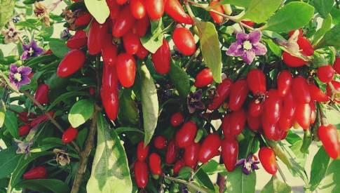 Mengenal goji beri, jenis buah beri yang bagus untuk penyembuhan kanker alami dan perawatan kesehatan