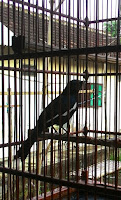 burung kacer by plat ae