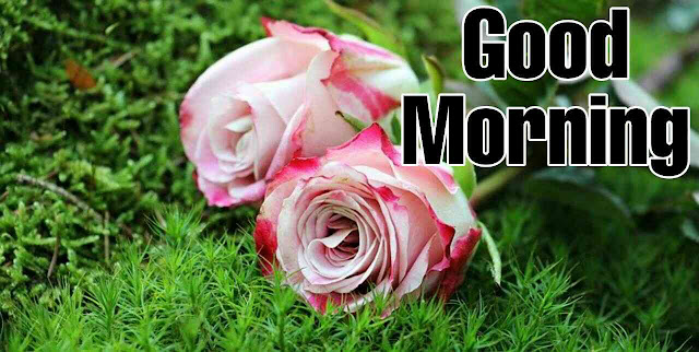 good morning with beautiful pink rose flowers have a nice day