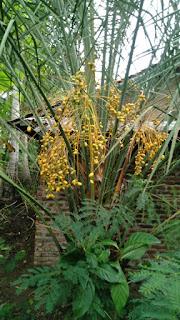 Palm kurma berbuah