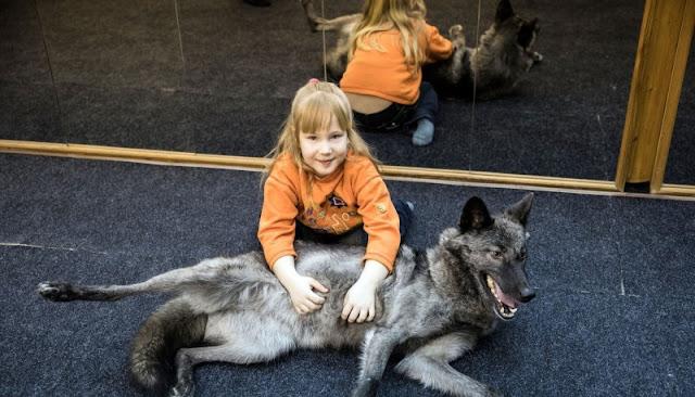 7-летняя девочка из Самары приручила волка, благодаря сосискам! Теперь она живёт с ним вместе