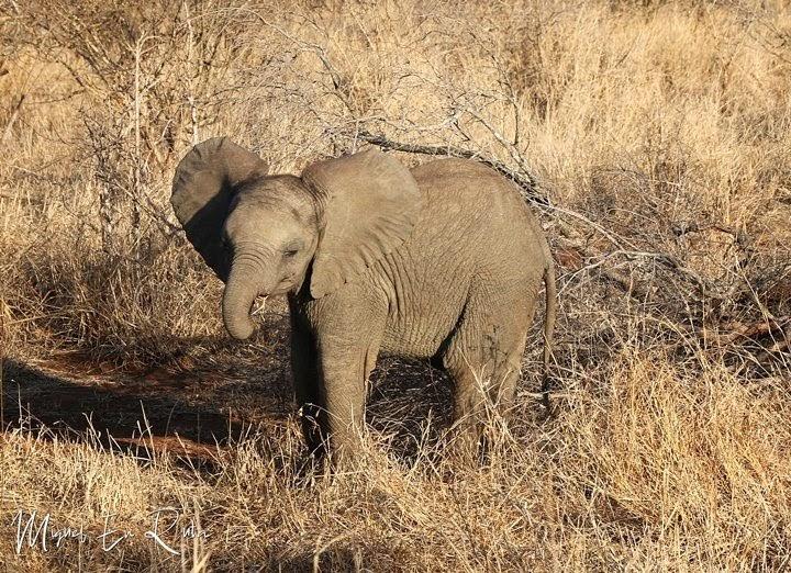 Elefante-Sabie-River-Kruger
