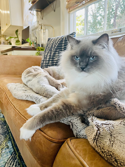 Ragdoll cat on a couch