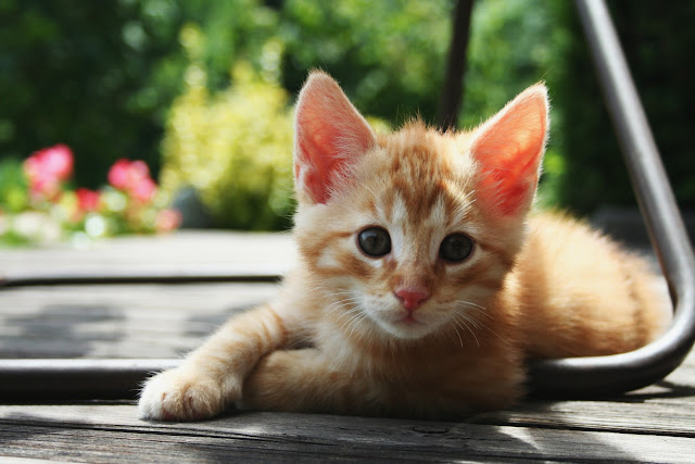 red kitten 01 by mathias-erhart from flickr (CC-SA)