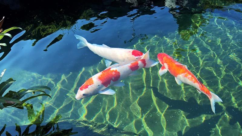 2 thanh niên Đà Nẵng trộm đàn cá Koi gần trăm triệu, làm mồi nhậu