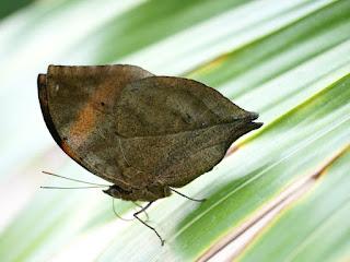 Papillon feuille - Kallima - Callima