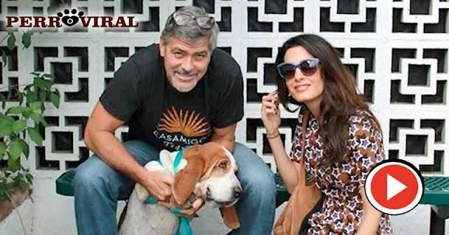 George Clooney y Amal adoptaron una Basset Hound de un refugio canino