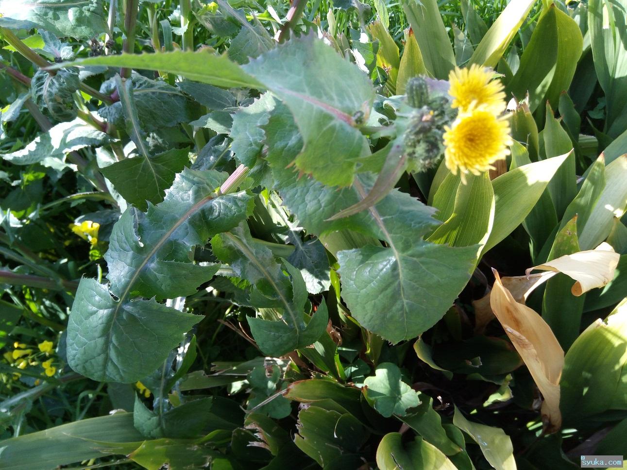 オニノゲシの花