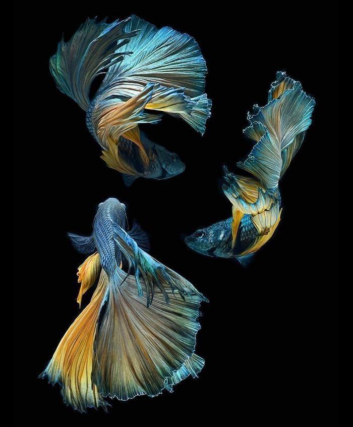Betta Fish Images 3