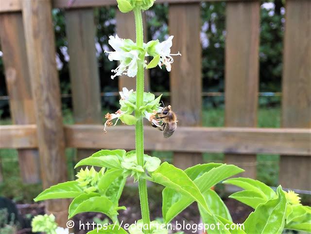 Biene am Basilikum