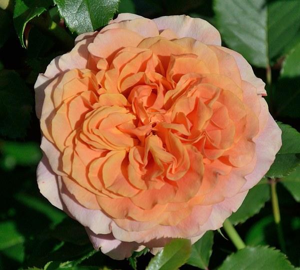 La Villa Cotta роза фото