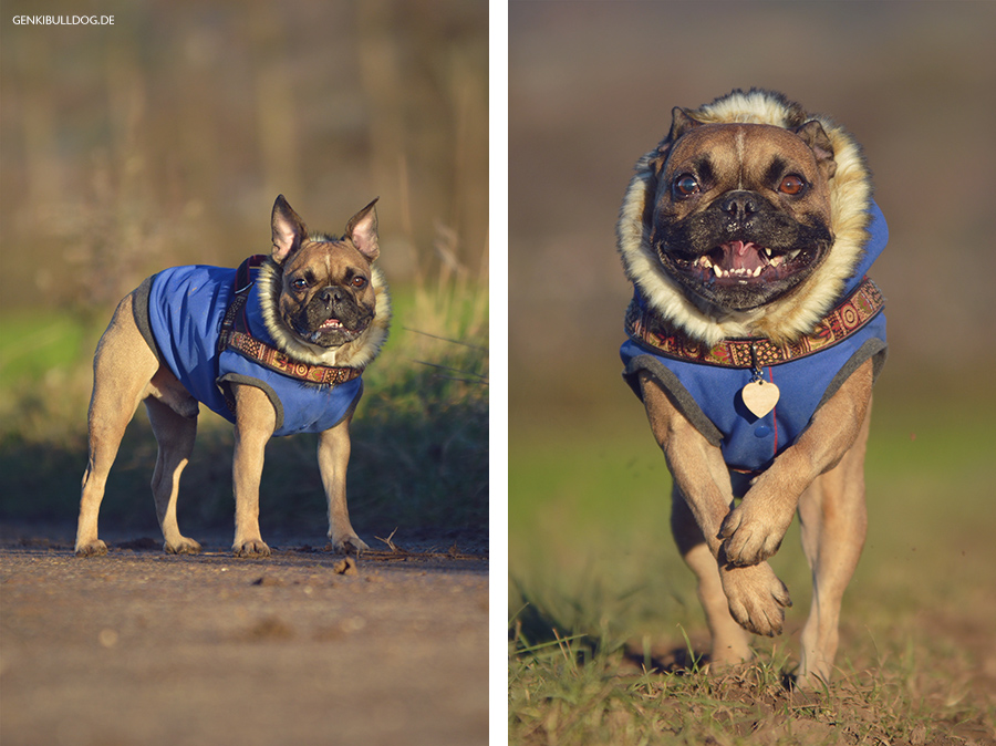 Hundeblog Genki Bulldog Verletzung Auge Hornhaut Französische Bulldogge Blog Bully