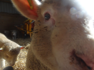 lamb camera lens farm life Devon glamping