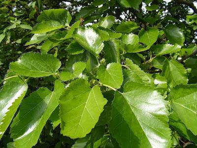 Mulberry-Leaf
