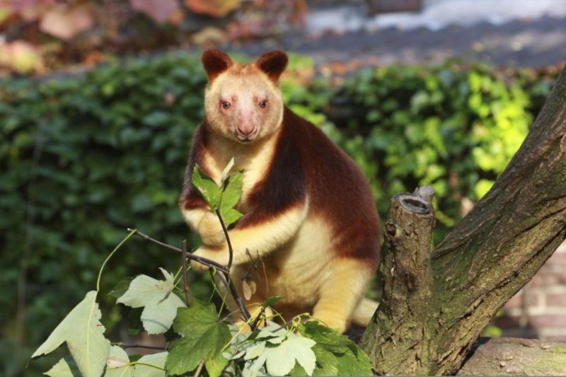 Gambar Macam-macamHewan langka Kanguru Wondiwoi