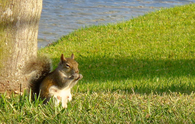 Pregnant squirrel snacking under a palm tree