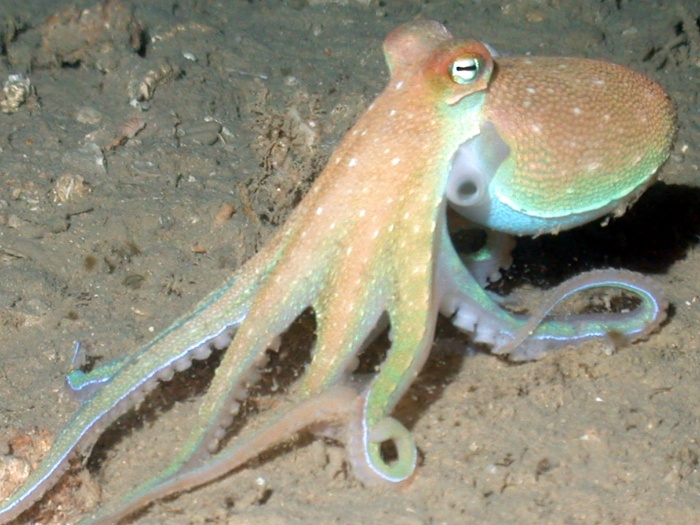 octopus on the ocean floor
