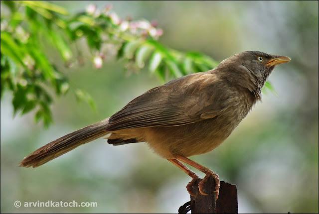 Jungle Babbler Nest