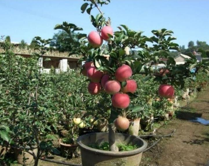 Bibit buah apel ana merah cepat berbuah Jawa Timur