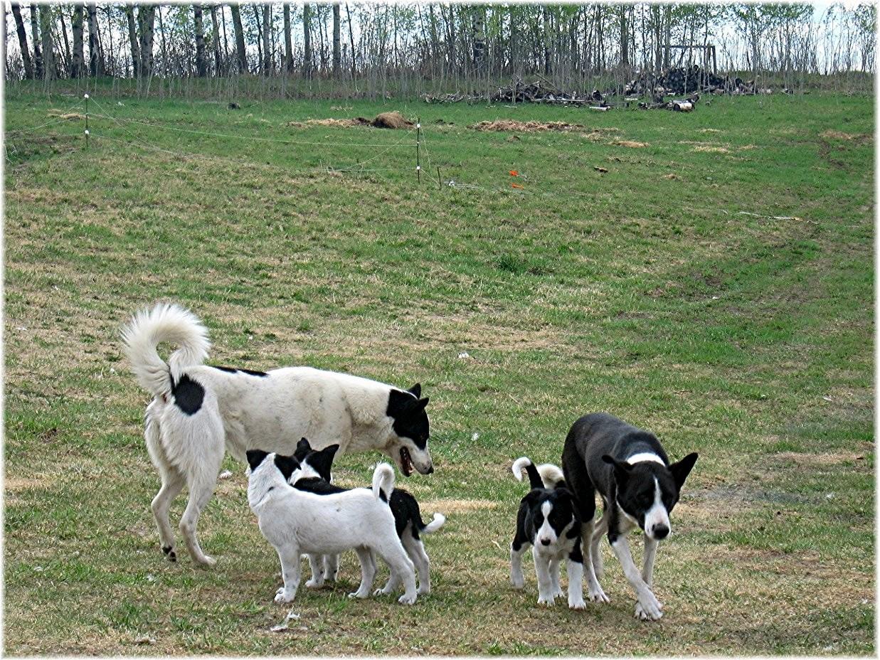 The Alberta Canaan Dog Crew